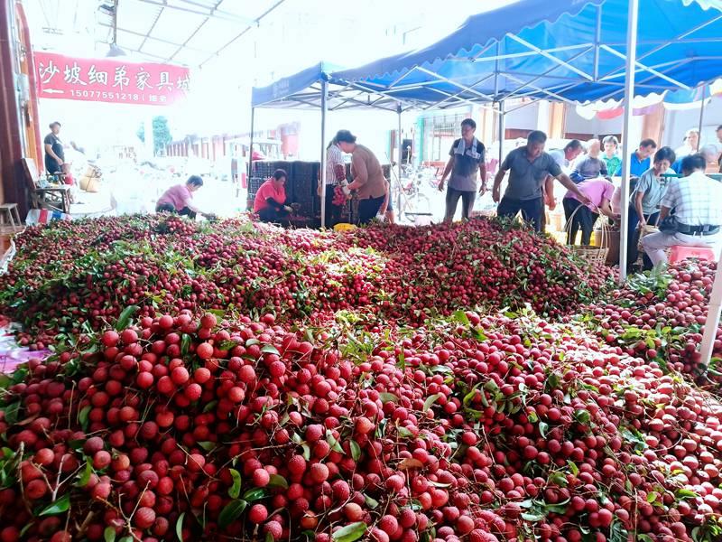 广西桂平:荔枝飘红 喜获丰收